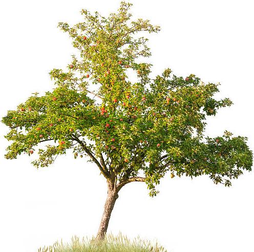 Pommier Nature de Pommes
